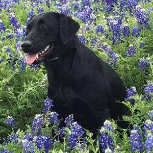 Shasta Service Dog